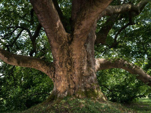 arbre : platane des Clayes-sous-Bois