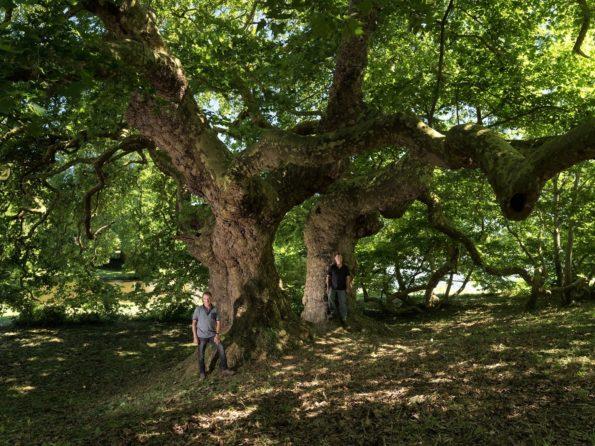 arbre : Le platane doré d'Orient