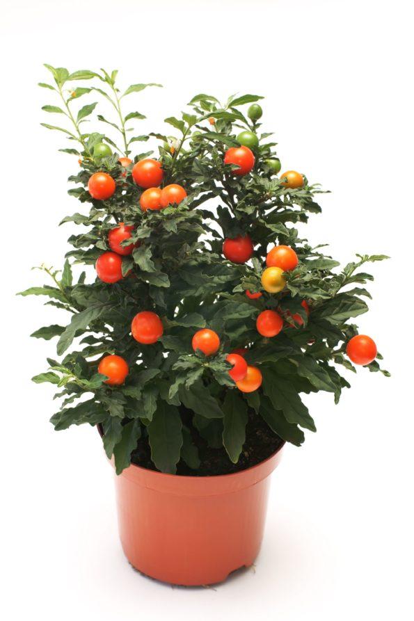 pommier d'amour -Solanum pseudocapsicum - hortus focus