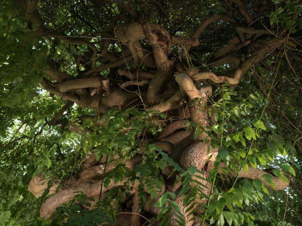 arbre préféré : Sophora pleureur