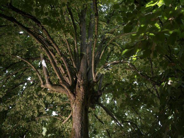 arbre préféré : tilleul