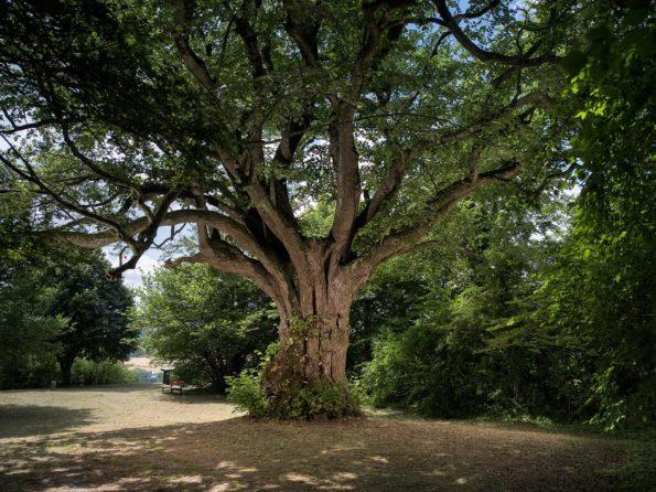 arbre : tilleul de la Côte Sainte-Hélène
