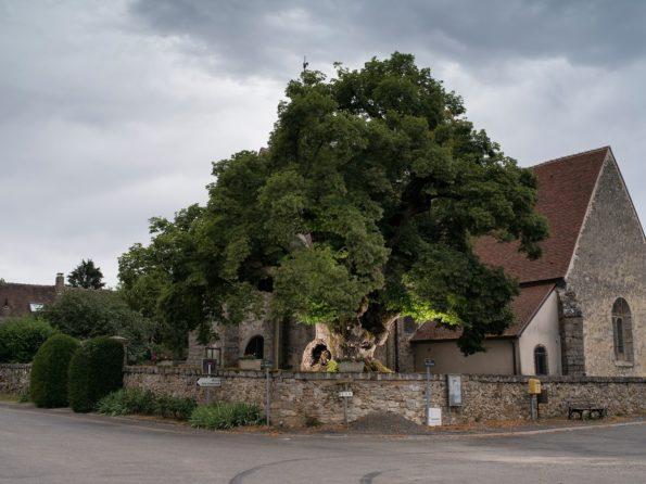 arbre : tilleul Rosny Sully