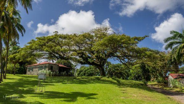 arbre préféré : zamana