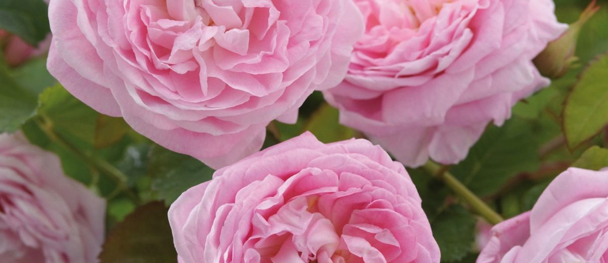 Roses David Austin - Queen_Anne