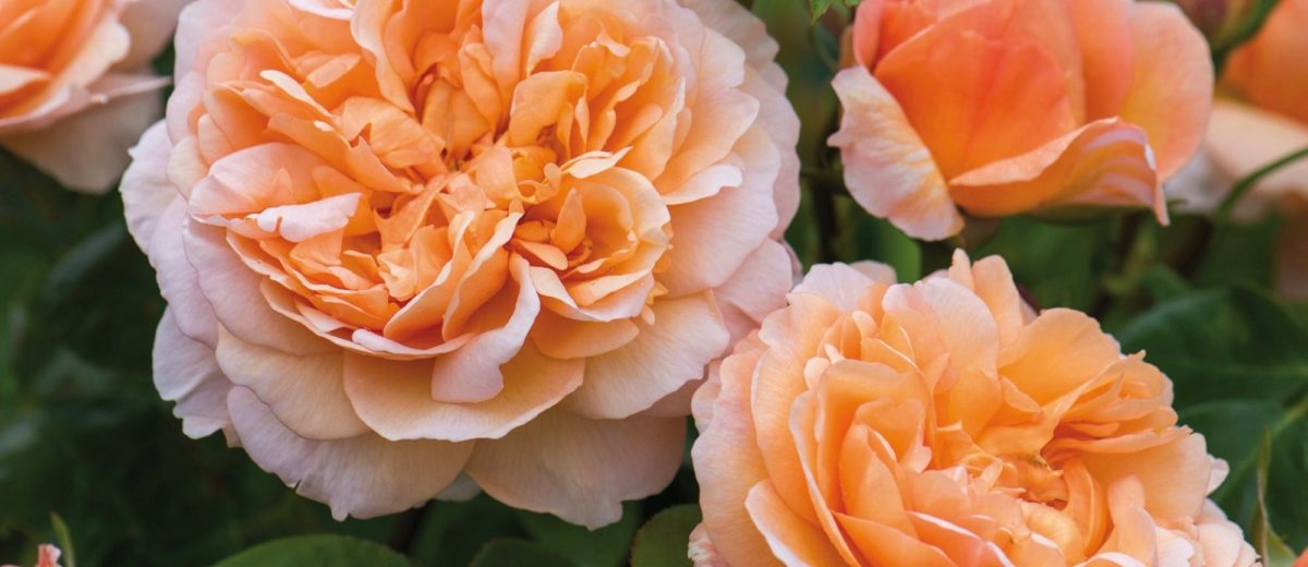 'The Lady Gardner' David Austin Roses