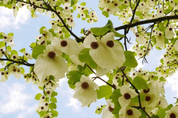 Davidia - arbre aux mouchoirs - hortus focus