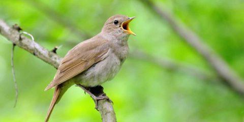 Rossignol : jour de comptage des oiseaux avec la LPO
