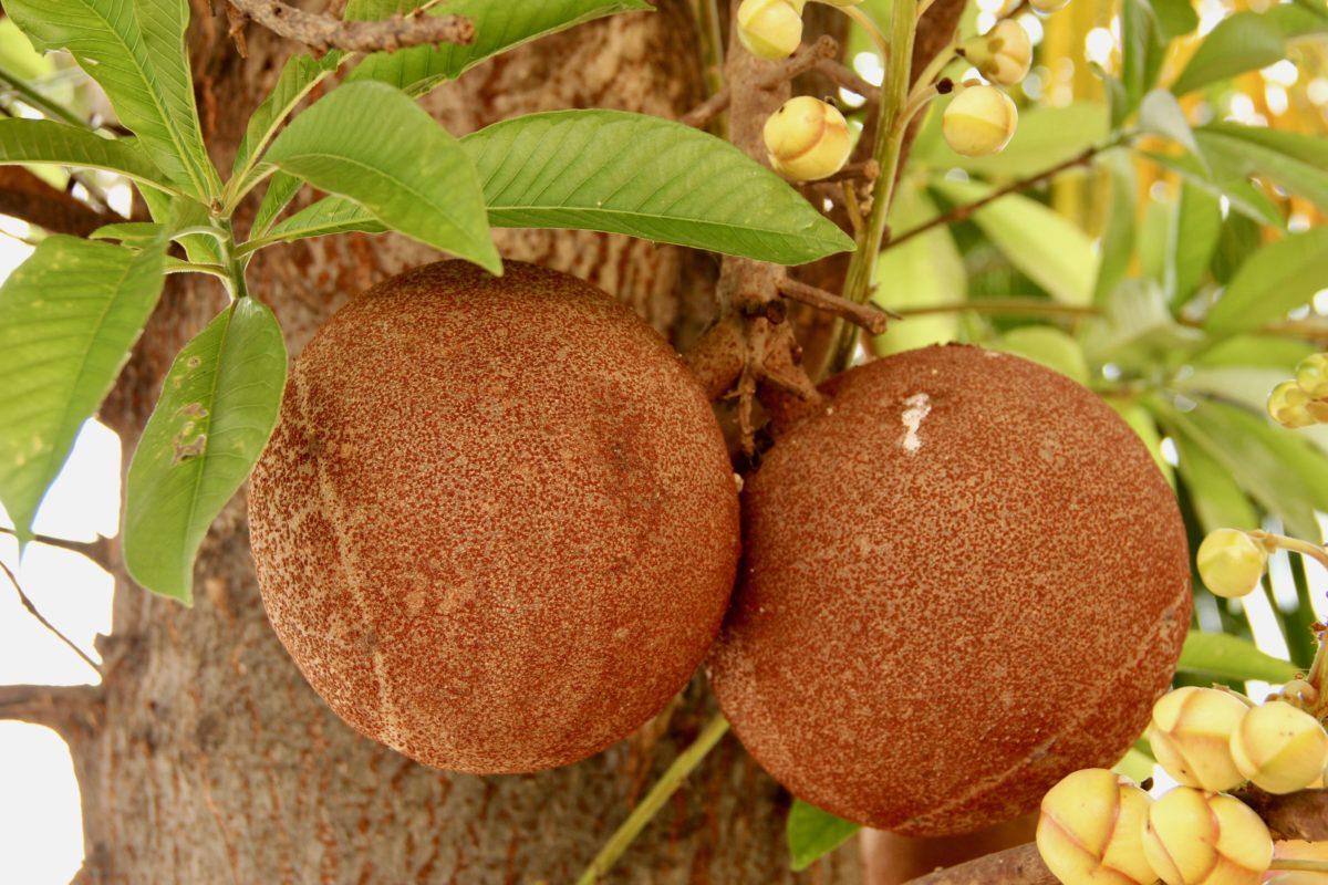 arbre a couille de sergent - couroupina guianensis
