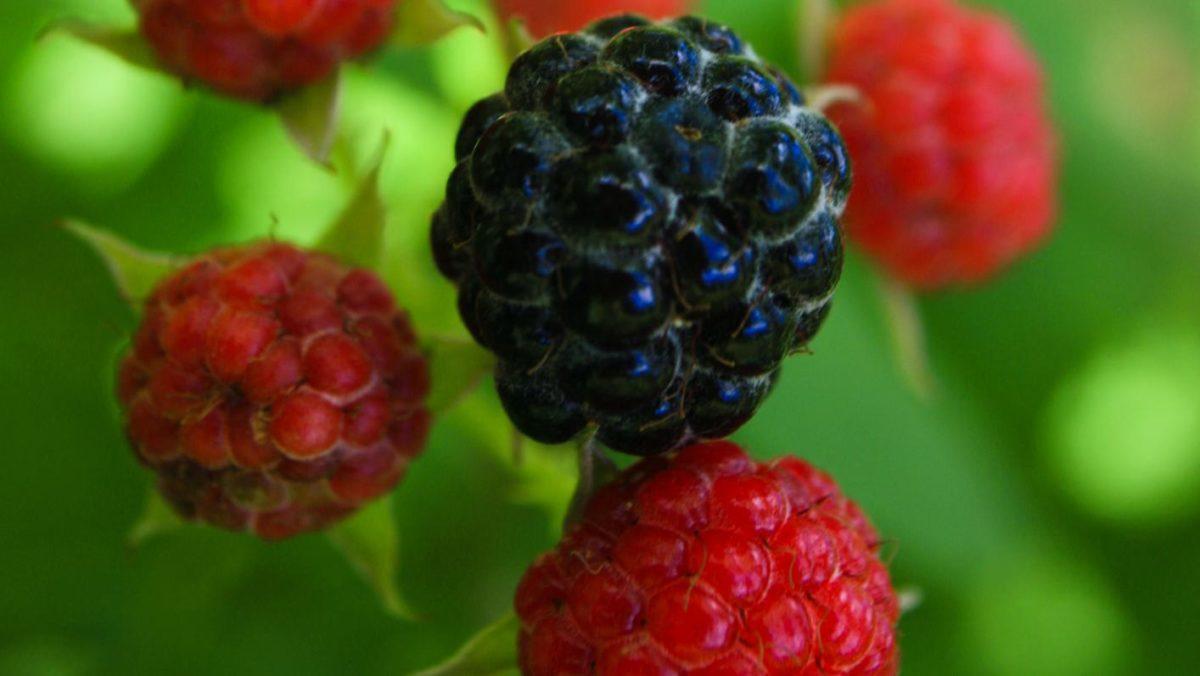 Mûrier-fraisier