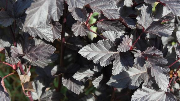 Physocarpus 'Midnight' - Physocarpe