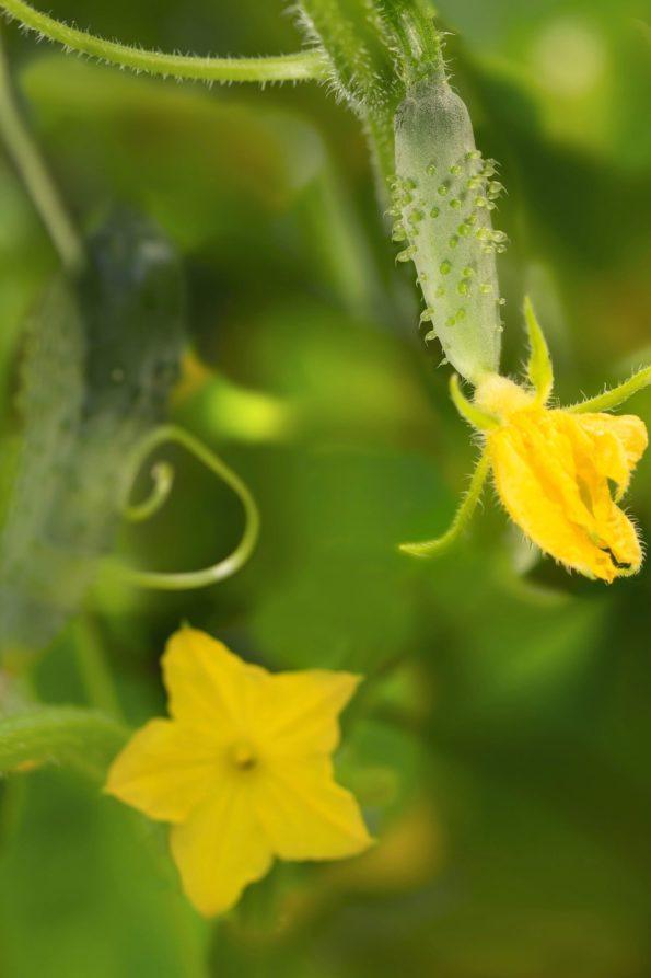 Cornichon : fleurs