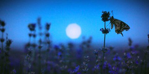 papillon au clair de lune