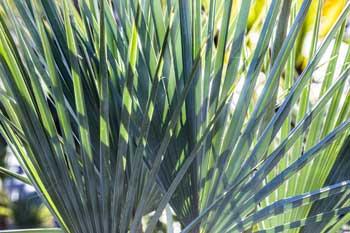 brahea armata - palmier