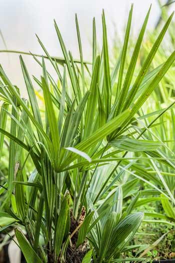 Rhapidophyllum - Palmier