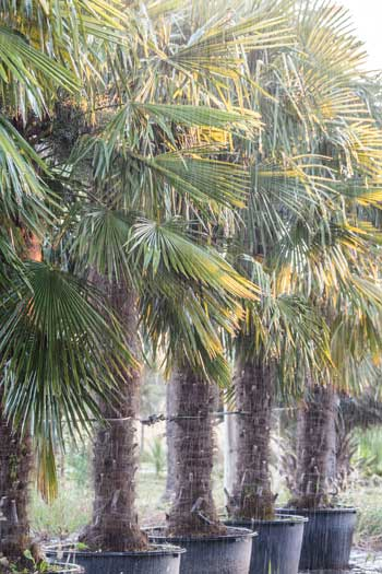 Palmiers 'Yeti'
