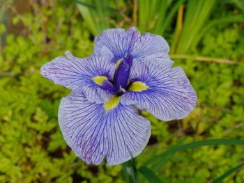 Iris : ensata