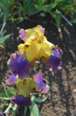 Parc Floral de Paris : iris