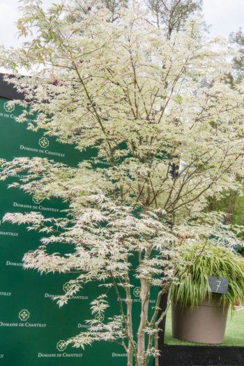 Chantilly : Érable japonais 'Uki-gumo'