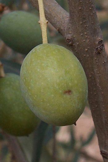 maladies de l'olivier : Olive piquée par une mouche
