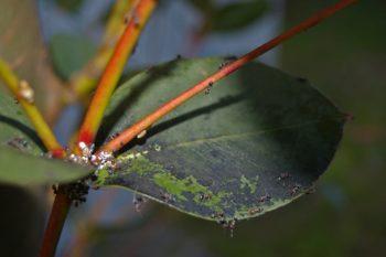 Olive piquée par une mouche : Fumagine sur eucalyptus