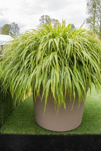 Chantily : Herbe du Japon 'Albostriata'