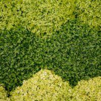 Plantes d'ombres : helxine