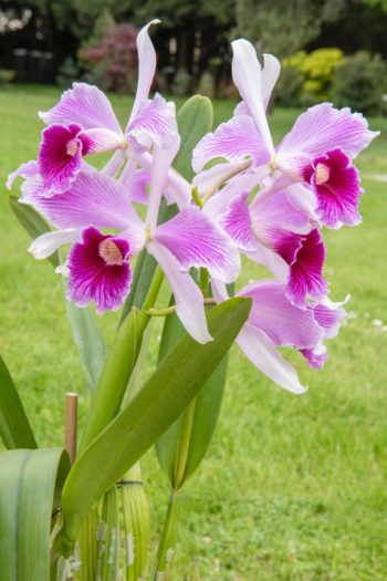 Chantilly : Laelia purpurata var. striata