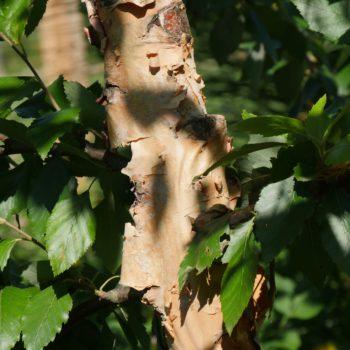 Le Mas des Béalières : Betula nigra 'Black Star'