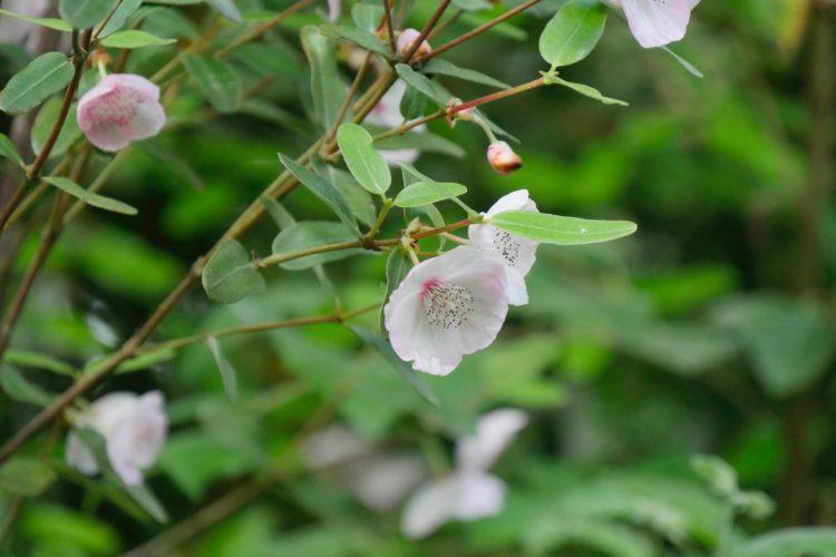 arbuste à floraison estivale : Eucryphia lucida