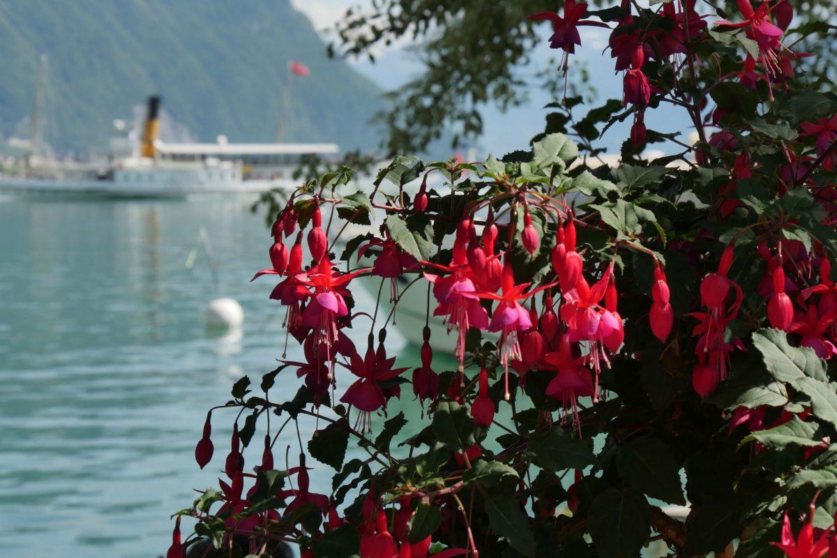 Quai des fleurs - Montreux - fuchsia