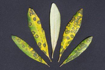 maladies de l'olivier : œil de paon