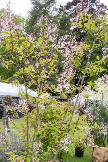 Chantilly : Lilas à floraison tardive