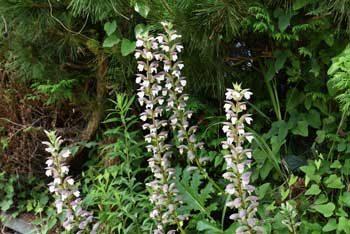 Fleurs comestibles : acanthe