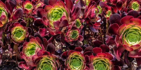 Comment cultiver les aéoniums - des plantes succulentes