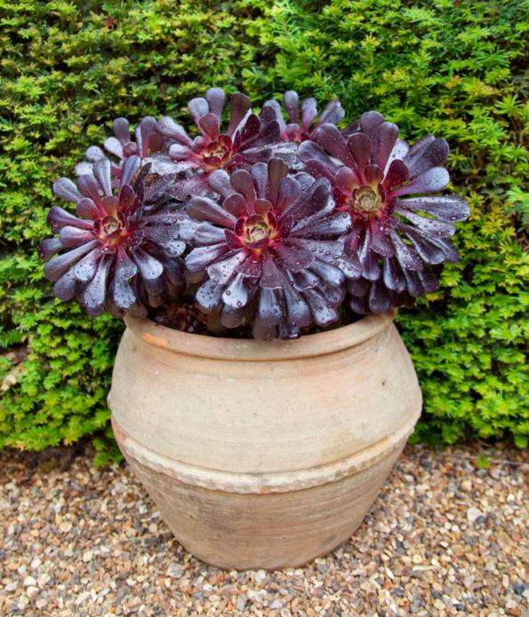 Comment cultiver les aeonium  - des plantes succulentes