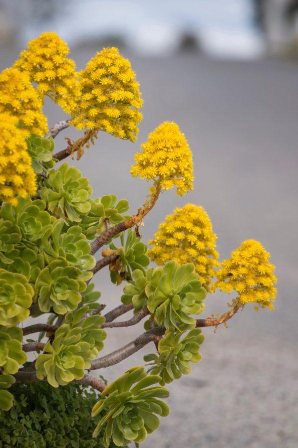 Comment cultiver les aeonium : Aeonium simsii - des plantes succulentes