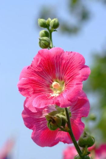 fleurs : Rose trémière, Alcea rosea