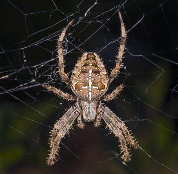 araignées : Épeire diadème, araignée de jardin