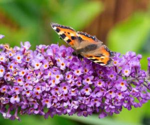 arbre aux papillons, buddleia