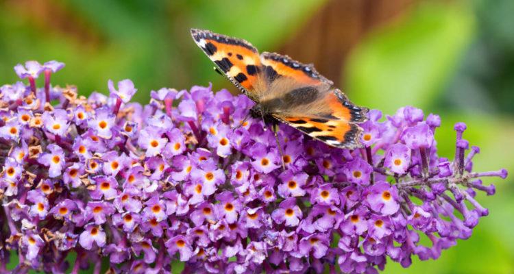 bdbfe2528a595 10 fleurs pour les papillons - Hortus Focus I mag Vive la biodiversité !