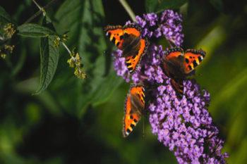 fleurs pour les papillons : arbre aux papillons