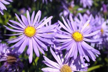 fleurs pour les abeilles : Aster frikartii Monch