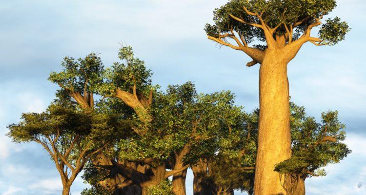 Baobabs en Afrique