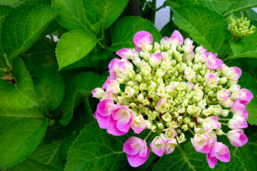 hortensia en fleur