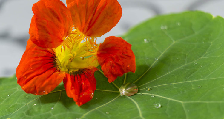 Capucine, fleur comestible