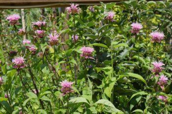 fleurs : Monarde, Monarda
