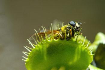 Dionaea muscipulata la plante attrape-mouche
