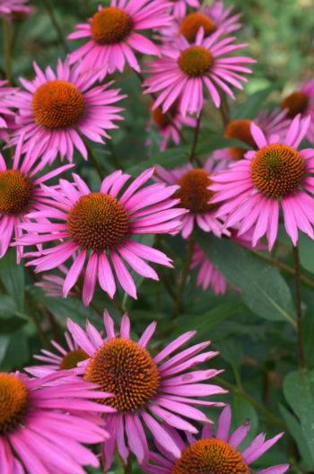 fleurs pour les papillons : Echinacea, rudbeckie
