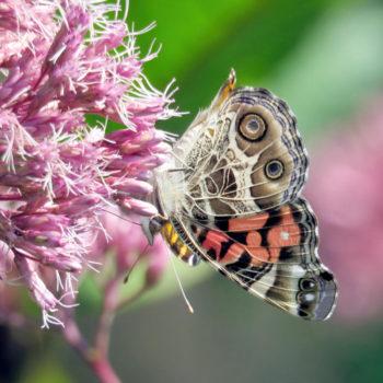 fleurs pour les papillons : eupatoire